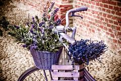 I want to ride my bicycle (ol3loceano) Tags: flowers bike bicycle canon torino eos photo colore violet bici fiori viola bicicletta concetta bibicletta cetty 40d abbagnale mygearandmepremium floweronbicycle ol3loceanoilnulla ol3loceano