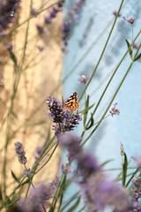 IMG_2835 (piaktw) Tags: summer butterfly skne sweden monarch scania lavendar ystad