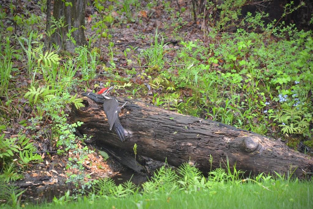 Bird - Woodpecker