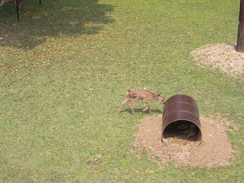 母子鹿の特別公開@鹿苑角きり場-06