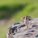 Amboseli, Fawn-colored Lark