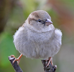 I'm Not Fat; I'm Fluffy (janruss) Tags: bird searchthebest ngc explore npc sparrow housesparrow avian naturesfinest otw supershot topshots specanimal animalkingdomelite mywinners platinumphoto avianexcellence diamondclassphotographer flickrdiamond photosandcalendar theperfectphotographer superperfectphotographer goldstaraward natureselegantshots 100commentgroup panoramafotogrfico alittlebeauty thebestofmimamorsgroups janruss janinerussell theoriginalgoldseal flickrsportal