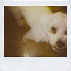 Another off-center dog photo (Graustark) Tags: dog white film polaroid texas houston spectra expired dinky minoltainstantpro ratapoo ratterrierpoodlemix