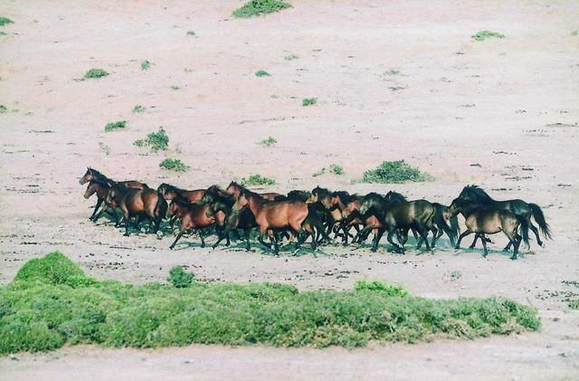 Δυτική Ελλάδα - Αιτωλοακαρνανία - Δήμος Στράτου Άγρια άλογα Πεταλά