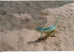 Kameleon in Mali