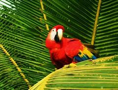 La Lapa en la Rama (Erik Kruthoff Photography) Tags: bird beach latinamerica scarlet costarica parrot palm corcovado jungle tropical macaw avian centralamerica osapeninsula potofgold centroamerica poormansparadise