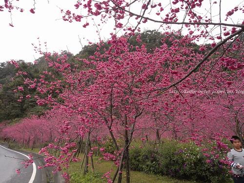 你拍攝的 1路上的櫻花海。
