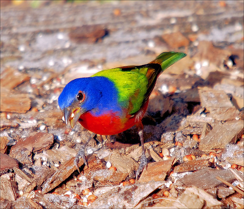 The Painted Bunting