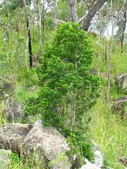 Acronychia laevis on Mt. Aunt (tanetahi) Tags: mtaunt athertontableland queensland australia acronychia rutaceae native flora acronychialaevis glossyacronychia hardaspen nsw australianrainforestplants tanetahi