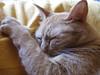 (•:• panti •:•) Tags: giallo rosso gatto dormire primopiano pelo dorme zampa baffi baffo peloso fulvo occhischiusi sampetta