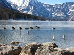 Ice Landing (Morkai79) Tags: mountain lake ice nature water animal rock lago duck natura slovenia roccia acqua montagna animale bohinj ghiaccio anatra