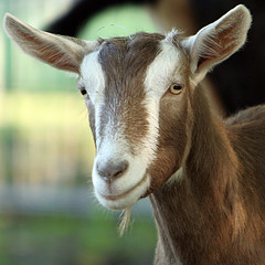 ^_^  smile (linda yvonne) Tags: smile closeup goat emoticons farmanimals hayseed toggenburg deannarosefarmstead fullydressed anawesomeshot dairygoat