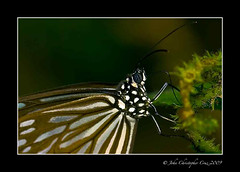 Blue Glassy Tiger (Ideopsis vulgaris macrina) (JC - Motivating People to CARE about the planet) Tags: blue butterfly insect tiger glassy vulgaris macrina ideopsis
