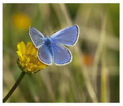 in flight Butterfly Spring (aziouezmazouz) Tags: pictures blue macro beautiful composition contrast amazing nikon colours bokeh flight bleu most nikkor distillery soe sping marvellous sharpness bellissima naturesfinest blueribbonwinner greatphotographers supershot flickrsbest nikkor180f28 specialtouch platinumphoto colorphotoaward ultimateshot specinsect almostanything diamondclassphotographer flickrdiamond theunforgettablepictures themacrogroup macrolife tup2 ourmasterpieces alemdagqualityonlyclub 100commentgroup ubej artofimages flickraward mostbeautifulpictures bestcapturesaoi flickrvault luxtop100 onlythebestofnature esenciadelanaturaleza bestmagicofnature