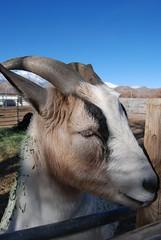 Lone Pine Dec 30, 2008 526 (Thank You 7.5 Million Visitors!) Tags: goats lonepine 395 dec302008