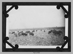 Pigs in the Field 1922 c (Douglas Coulter) Tags: 1922 staggs
