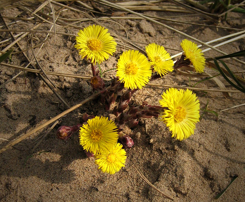 Coltsfoot 20Mar09
