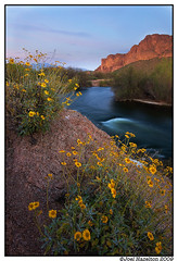 Salt River Wildflowers (joelhazelton) Tags: flowers sunset arizona desert wildflowers brittlebush saltrvier