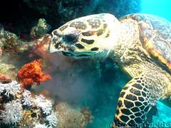 Think I'll eat that piece next (phrixus nyx) Tags: sea coral underwater turtle redsea egypt scuba diving scubadiving fins sonycybershot hurghada hawksbillturtle marinelife softcoral p150 cnidaria eretmochelysimbricata macrolife bananareef orcadivers