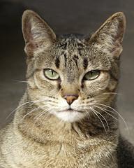 Meet Little Tiger (njchow82) Tags: portrait pet canada calgary nature animal cat domestic alberta littletiger beautifulexpression impressedbeauty dmcfz18 alittlebeauty njchow92 mmmilikeit