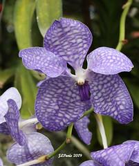 Blue Indigo Vanda Orchid
