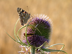 A moment in fakirs life (RainerSchuetz) Tags: butterfly thistle explore fakir schmetterling bedofnails distel vanessacardui cynthiacardui explored distelfalter paintlady fbdg