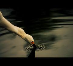 the fisherman- part II [57/80] (Colin/Murphy) Tags: white lake bird heron water fishing pond nikon bokeh crane beak ripples d40