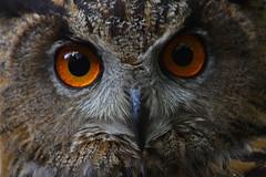 Eurasian Eagle Owl (Ian Lambert) Tags: bird amber owl brighteyes birdofprey eurasianeagleowl bubobubo mywinners platinumheartaward turbarywoods