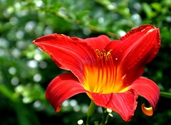 red day lily (Wils 888) Tags: flowers red flower macro closeup lens nikon day dof lily bokeh nikkor d90 hbw 18105mm nikond90 happybokehwednesday