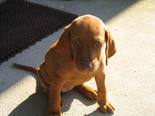 Vizsla - 6 weeks old