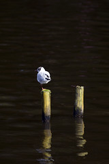 Gull 2 (Glenn Curley) Tags: suttoncoldfield midlands suttonpark