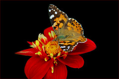 My second  Butterfly Photo  on  red Dahlia (scorpion 13 /) Tags: dahlia friends red black flower nature butterfly garden flora blossom walk cologne today soe distelfalter bej fineartphotos abigfave anawesomeshot crystalaward rubyphotographer gr8photos lizasenchantingphotogarden secretenchantedgardens naturescarousel thewonderfulworldofnature