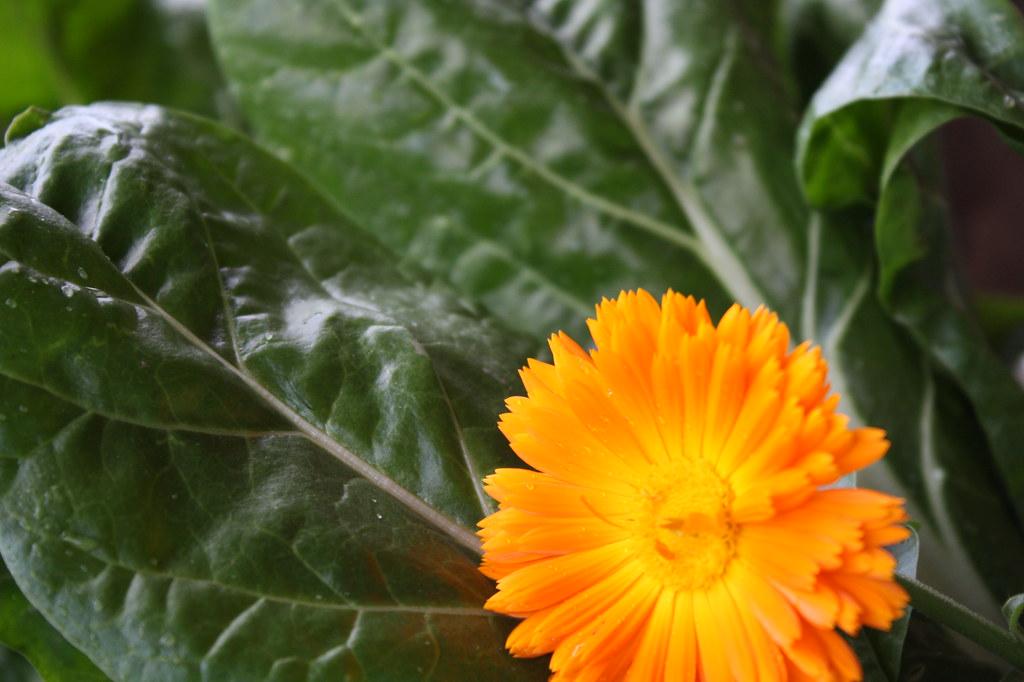 Mangold mit Blume
