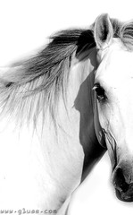 Challenge!! (● Maitha ● Bint ●K●) Tags: bw horse white photography high key uae g1 challenge wwwg1uaecom