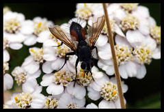 Fly - Brockadale Nature Reserve - West Yorkshire (Chris McLoughlin) Tags: uk flowers england flower macro nature closeup bug insect fly sony yorkshire 100mm westyorkshire flowerbud a300 sal100m28 sonya300 sonyalpha300 alpha300 brockadale chrismcloughlin