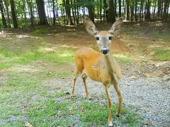 friendly deer! (brina_head) Tags: closeup deer veryfriendly guntersvillestatepark maybetoofriendly allthewonderfulanimals