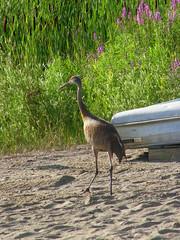 Wildlife at Camp Talahi (Howell, Michigan) (cseeman) Tags: camp nature michigan wildlife cranes swans lillies waterfowl snakes waterlillies sandhillcranes howell camptalahi easterngartersnakes turtles