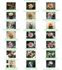 Bild 008 (sambucus2009) Tags: astrophytum kikko asterias superkabuto krausei