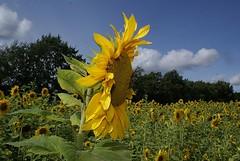 Sunflower and field (Jaedde & Sis) Tags: field windy sunflowers hero winner wrestler sis thumbsup twothumbsup pog bigmomma gamewinner solsikker challengeyouwinner flickrchallengegroup flickrchallengewinner 15challengeswinner thechallengegame challengegamewinner acfy acg2nd fotobronze fotocompetitionbronze heroicwinner herowinner acfyunanimous storybookwinner pregamewinner