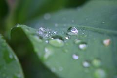 Waterdrop works :[Xplored] (sippay) Tags: white blur macro water experiments leaf waterdrop rainyday works 2009 fuvahmulah ggreen