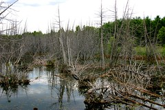 A View of Life and Death (Gary Everson) Tags: brown green water forest reflections swamp deadforest