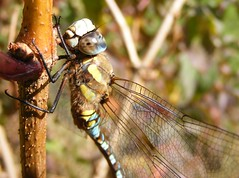 Migrant Hawker Dragonfly close-up (ukstormchaser (A.k.a The Bug Whisperer)) Tags: uk animal animals closeup fly pond dragonflies dragonfly flies milton keynes hawker migrant
