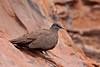 White-quilled Rock-pigeon (aaardvaark) Tags: australia wa kimberley bunglebungles purnululu fbwnewbird fbwadded petrophassaalbipennis whitequilledrockpigeon 2009072504063whitequilled rockpigeonbungles 1st277p260