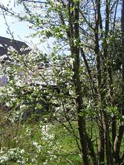 Unser Pflaumenbaum (Last Hero) Tags: white spring blossom april franken blte weiss plumtree frhling pflaumenbaum s5800