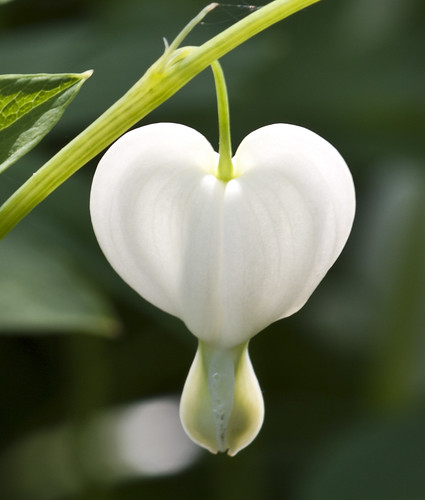 Lone White Heart - Copyright R.Weal 2011