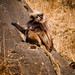 Gelada Baboon-The Simien Mountain National Park-ethiopia.