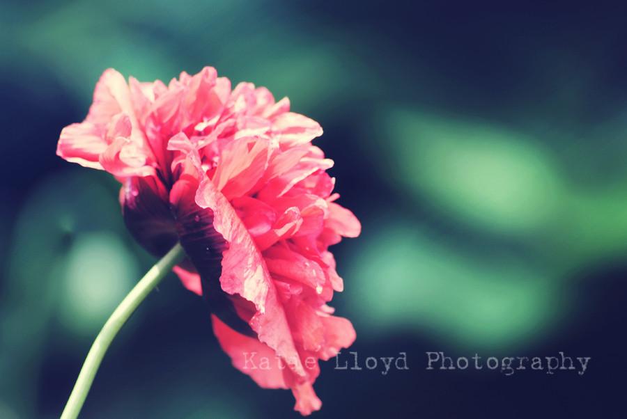 poppy---pink