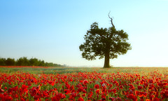 In the field of red (lichtmaedel) Tags: tree field germany deutschland oak poppy poppies sonnenaufgang vorpommern morgens eiche mohn ammorgen landswirtschaft