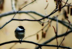 Carolina Chickadee [Poecile carolinensis] (mightyquinninwky) Tags: tree bird rural geotagged backyard dof bokeh kentucky branches depthoffield ave chickadee perched limbs picnik smalltown seedpod carolinachickadee westernkentucky poecilecarolinensis orderpasseriformes nativebird riverbirch unioncountykentucky nativefauna nativeflora backyardnature avianphotography ruralkentucky morganfieldkentucky familyparidae geo:lat=37693211 geo:lon=87905511 goldstaraward thebluegrassstate thecommonwealthofkentucky nativekentuckyflora smalltownkentucky nativekentuckyfauna nativekentuckybird malecarolinachickadee