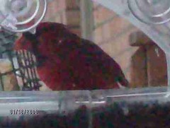Birds loving our feeders023 (katmik22@sbcglobal.net) Tags: cold birds snowy feeders hutchinson dayenjoying